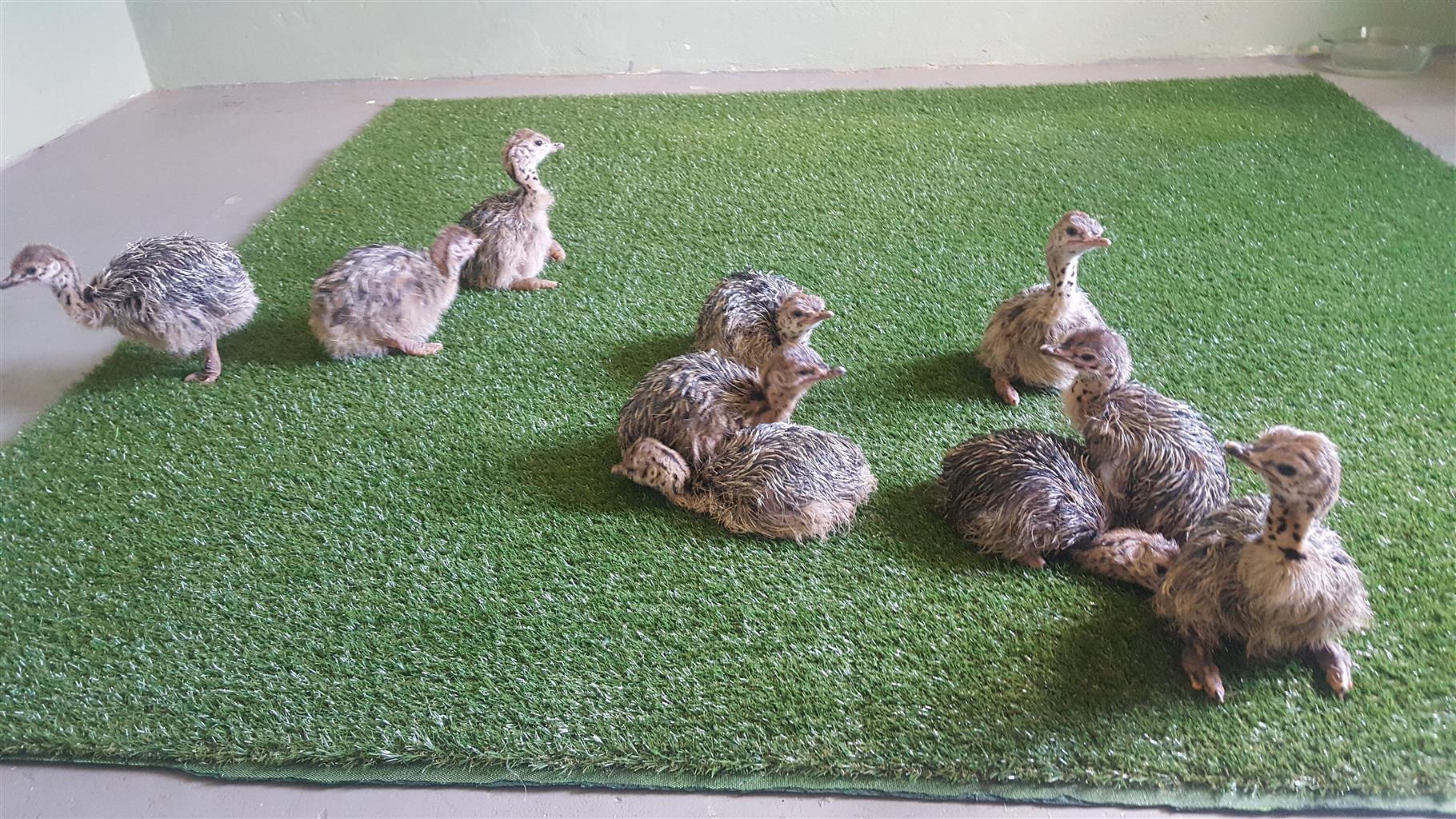Ostrich chicks 4 weeks old