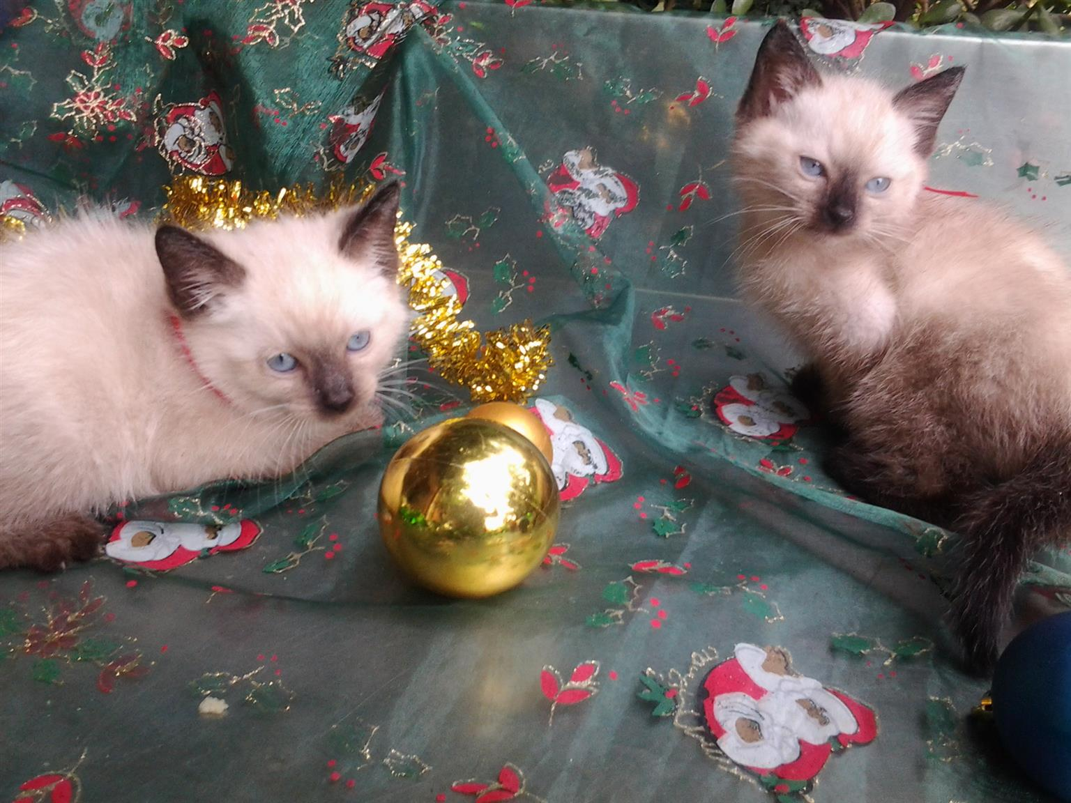 Beautiful Ragdoll Siamese kittens