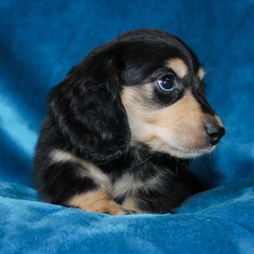 Miniature Longhaired Dachshund