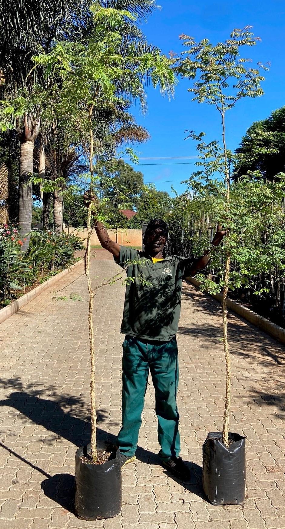 Monkey thorn trees