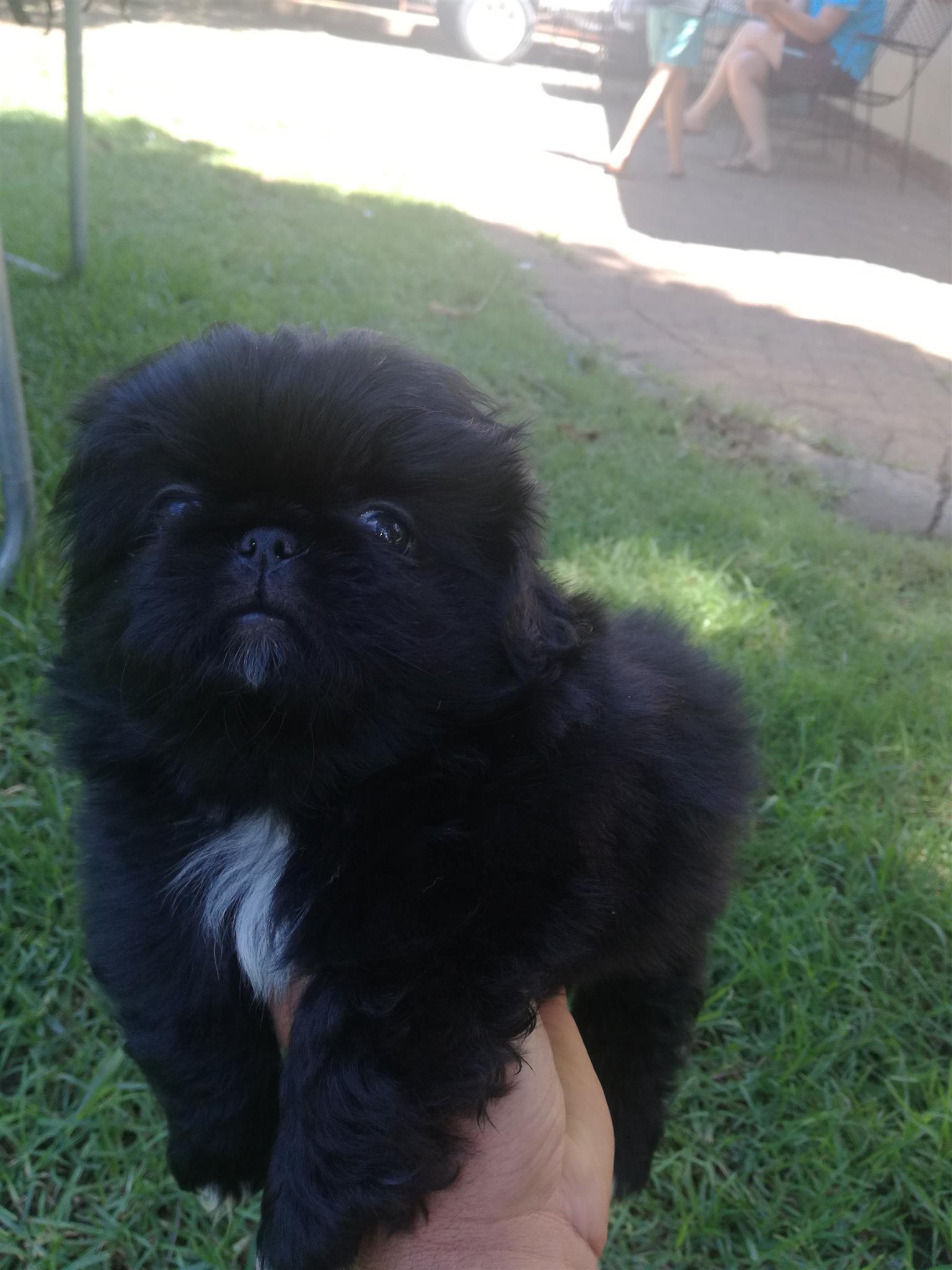 Purebred pekingese puppies for sale in Springs/Gauteng