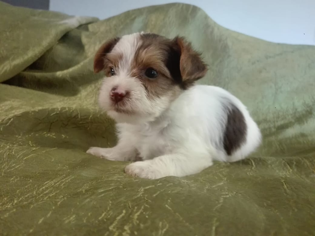 Yorkshire Terrier Puppies Yorkies