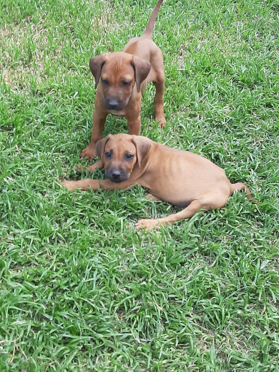 Beautiful Ridgeback Puppies 8 week old