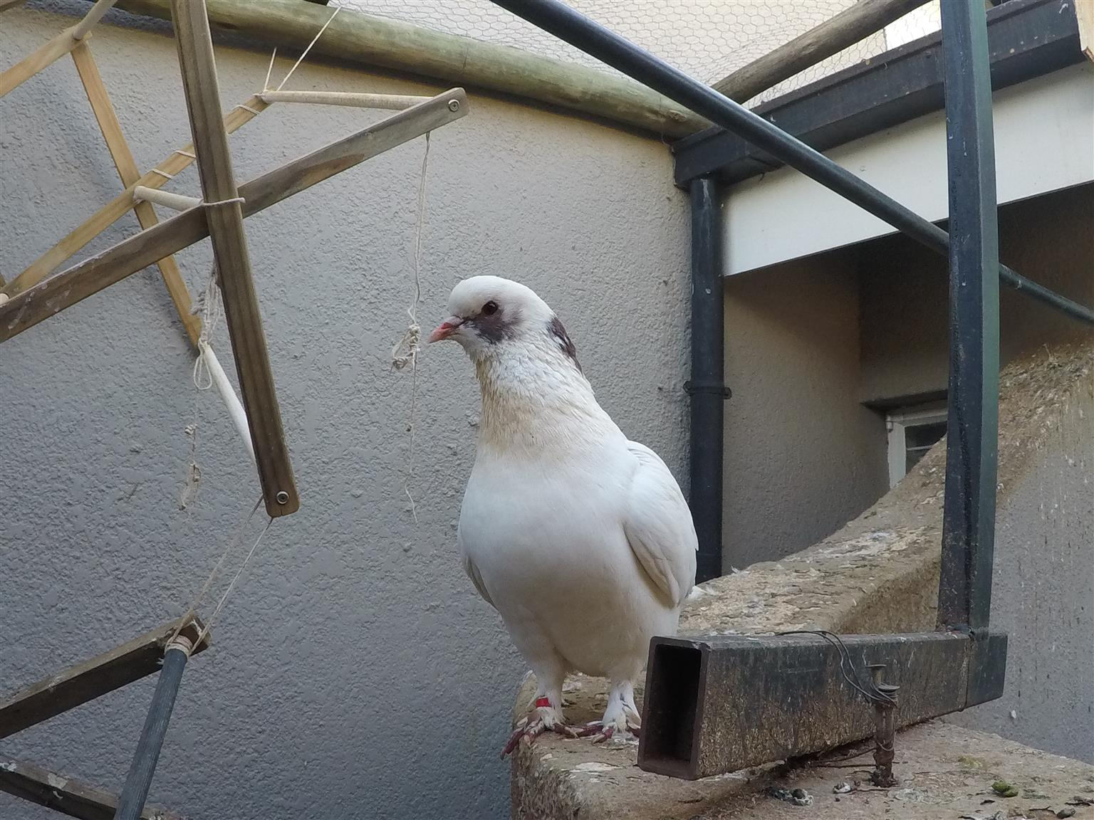 Various Fancy Pigeons For Sale