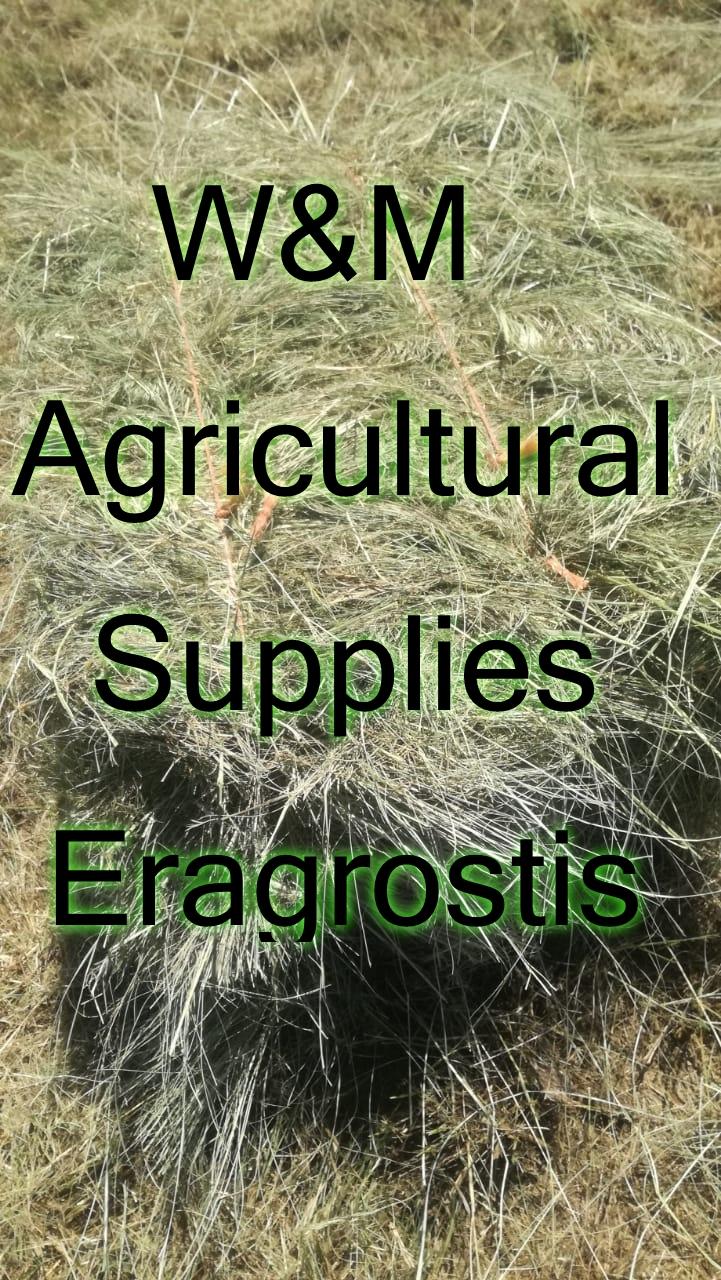 A grade fresh Teff , Eragrostis and Lucerne