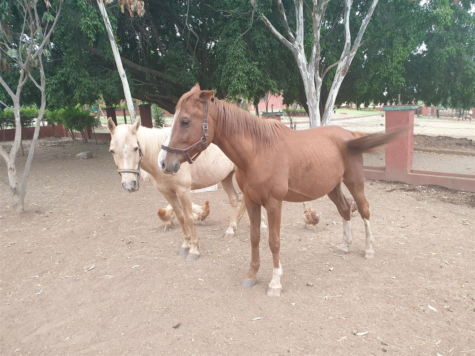 SA Boerperd and Arab x Boerperd geldings