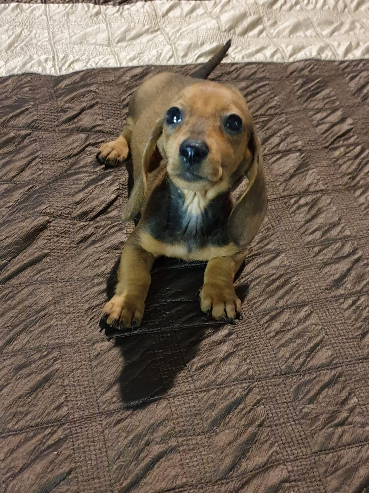 Dachshund/Worshond puppies