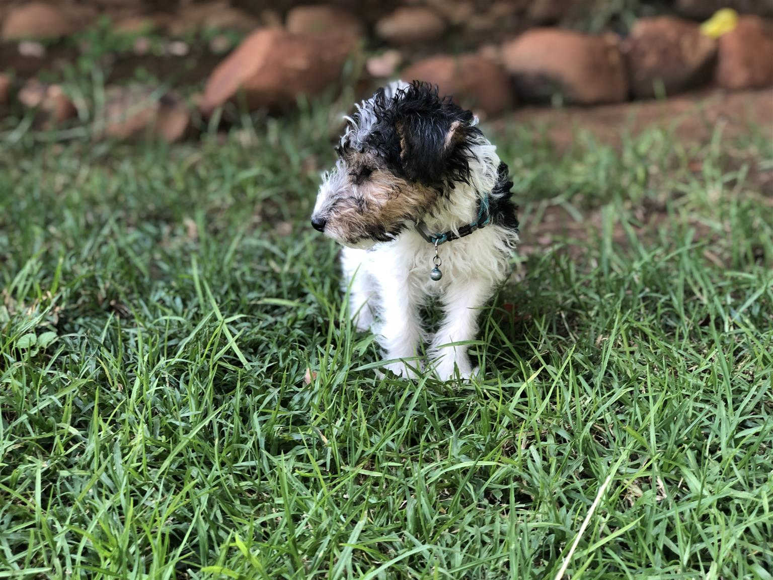 Wire Hair Terrier Male Pups available!