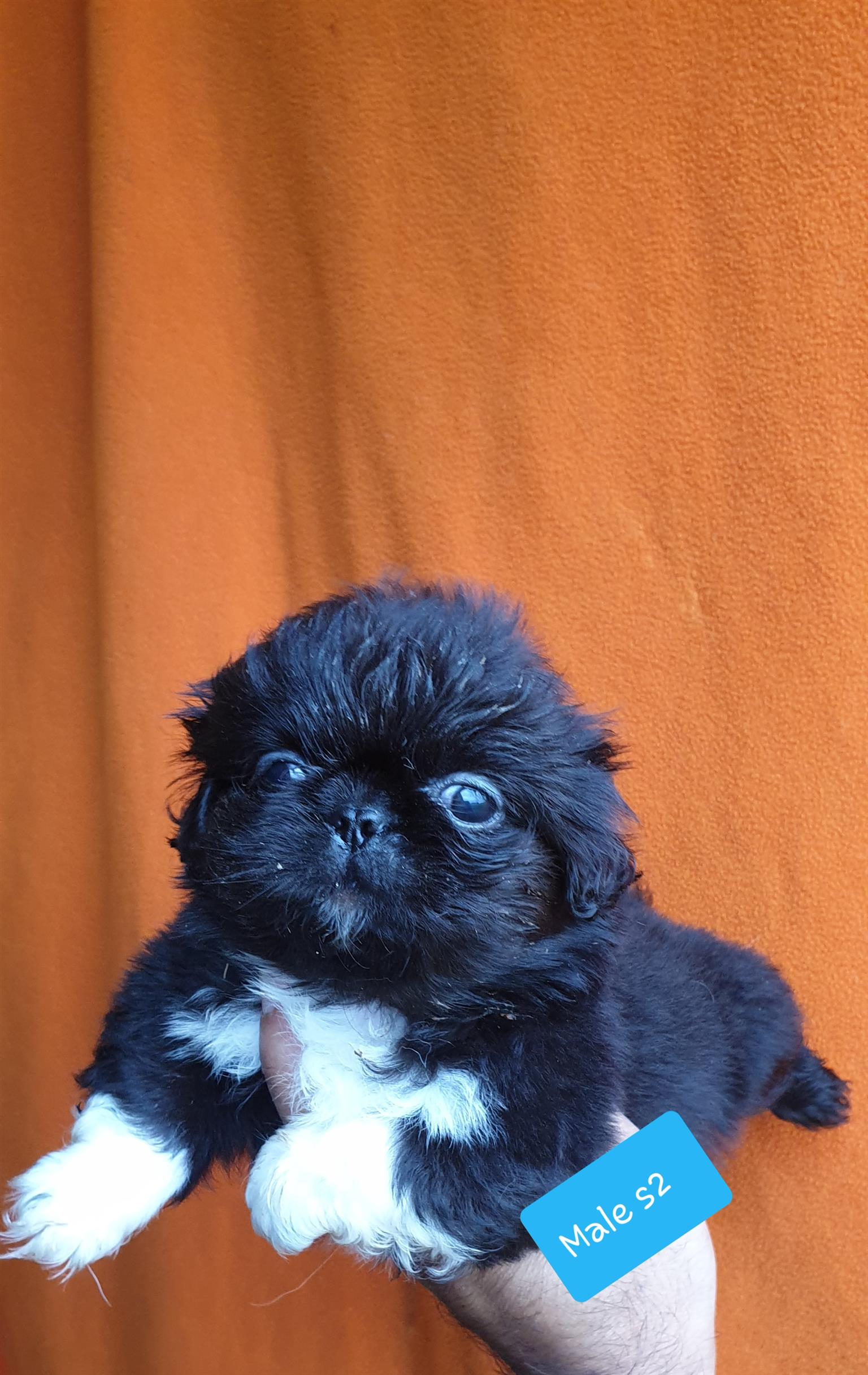 pekingese puppies for sale.Purebred miniature puppies