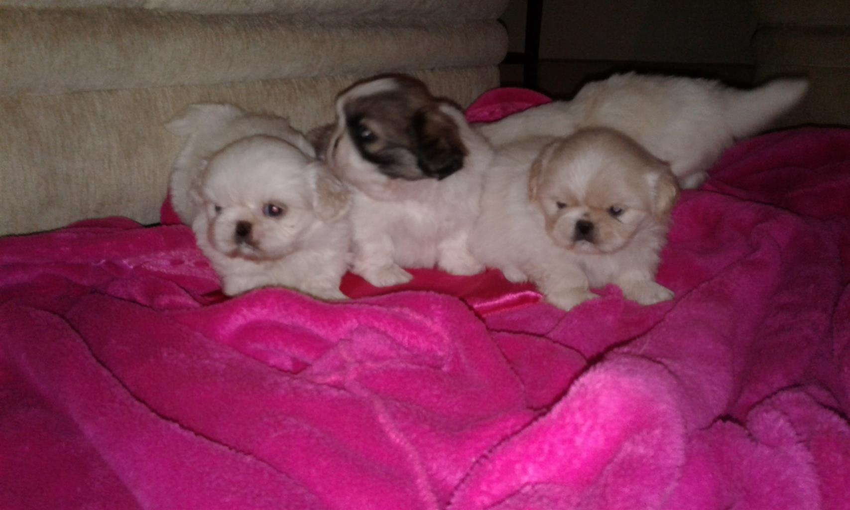 PURE PEKIGNESE PUPPIES FOR SALE