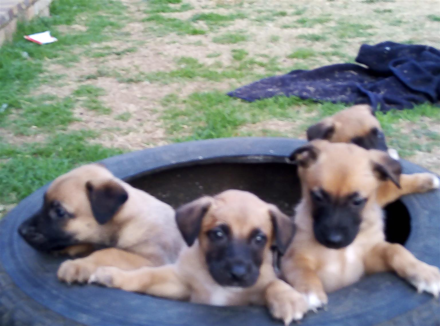 Belgian Malinois Puppies For Sale Junk Mail