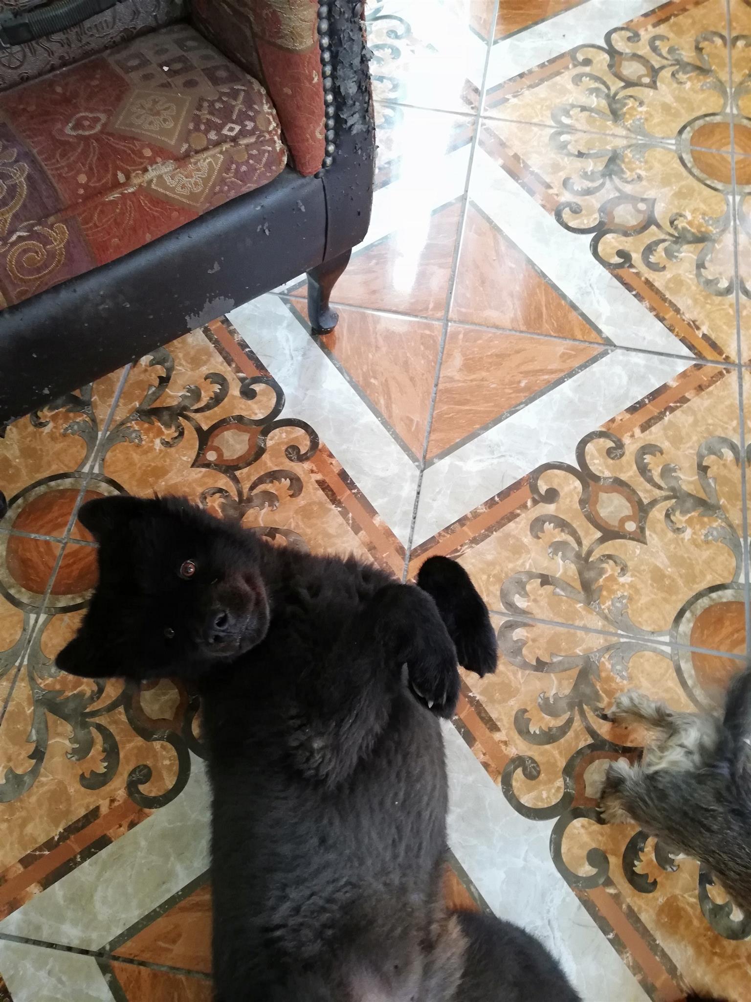 Chow x Samoyed