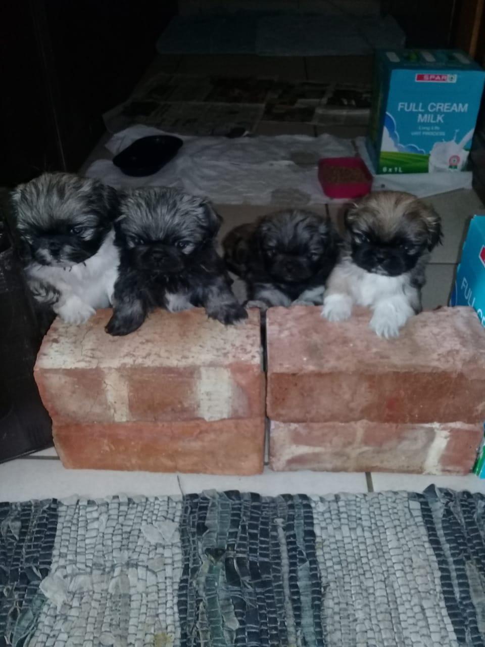 Puppies pikenise