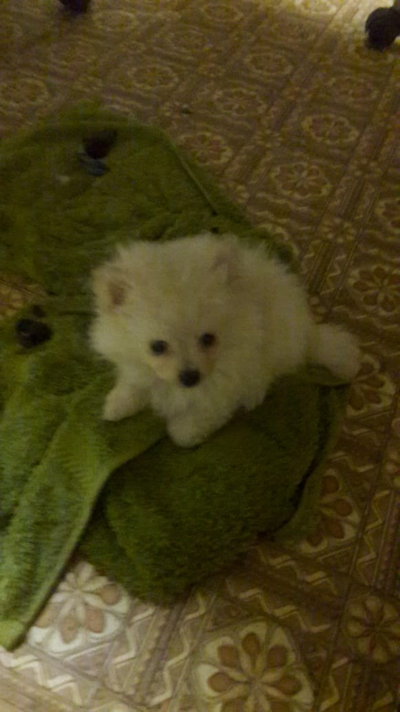 Toypom /Pomeranian male and female puppies