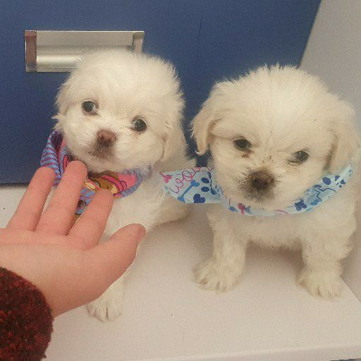 mini maltese puppies