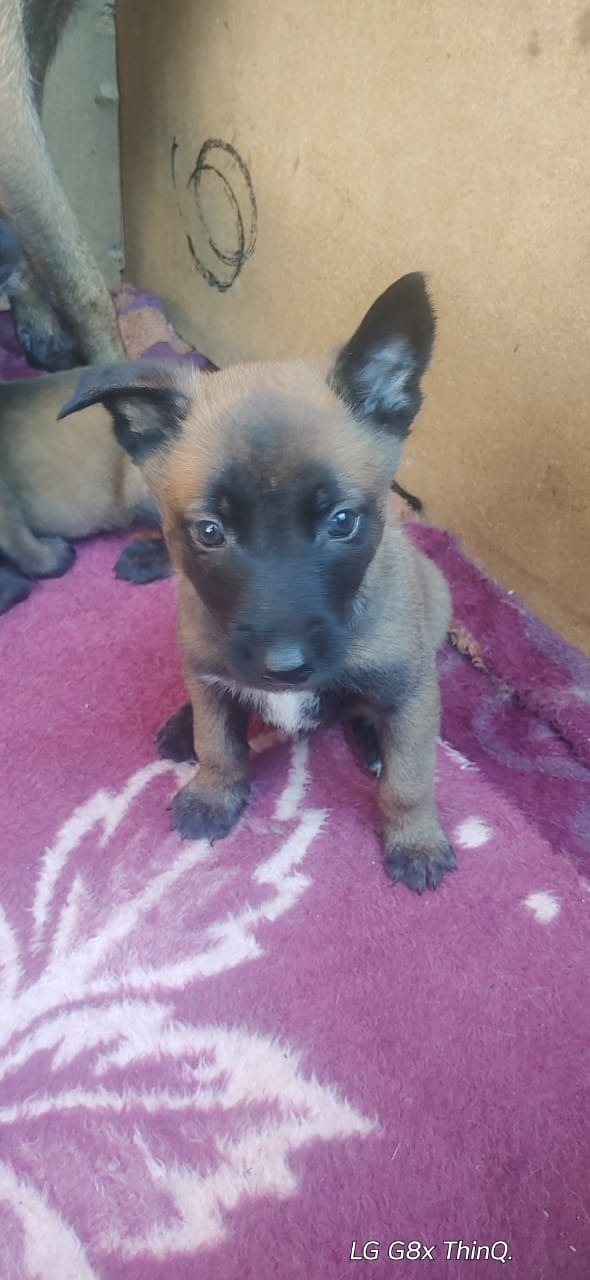 Malinois Puppy For Sale Junk Mail