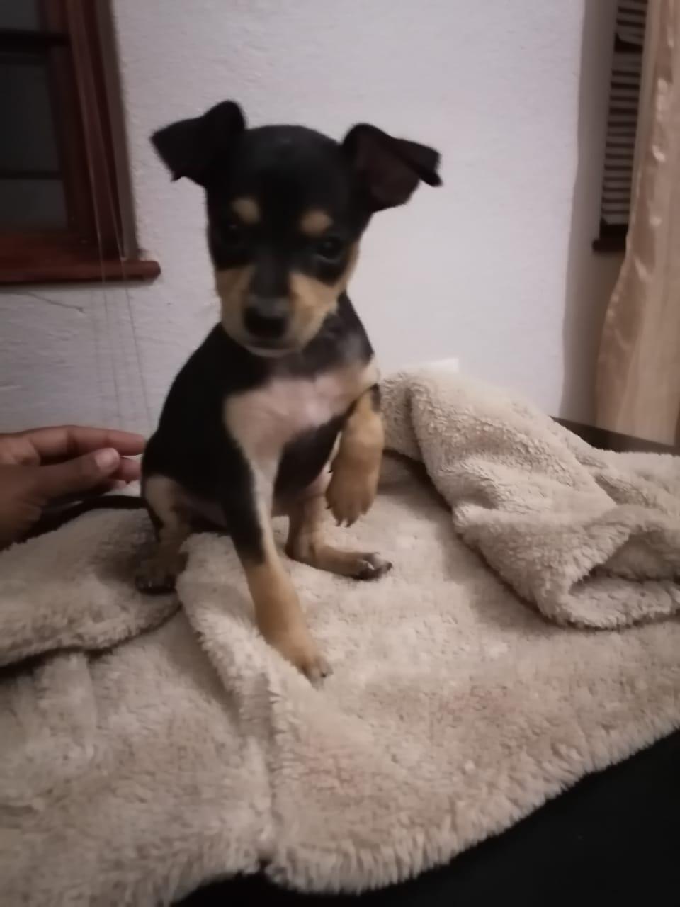 Doberman Miniature Pinscher puppy