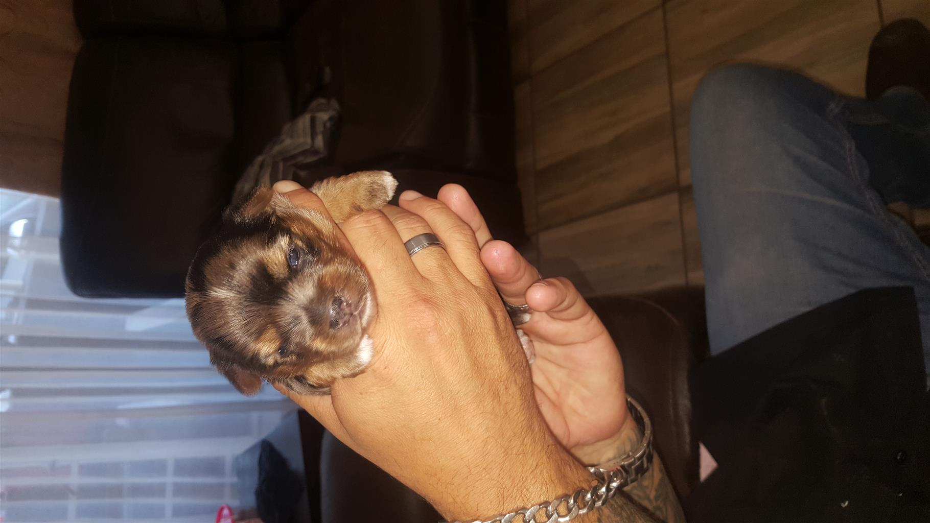 CHC MERLE Male Yorkie for sale