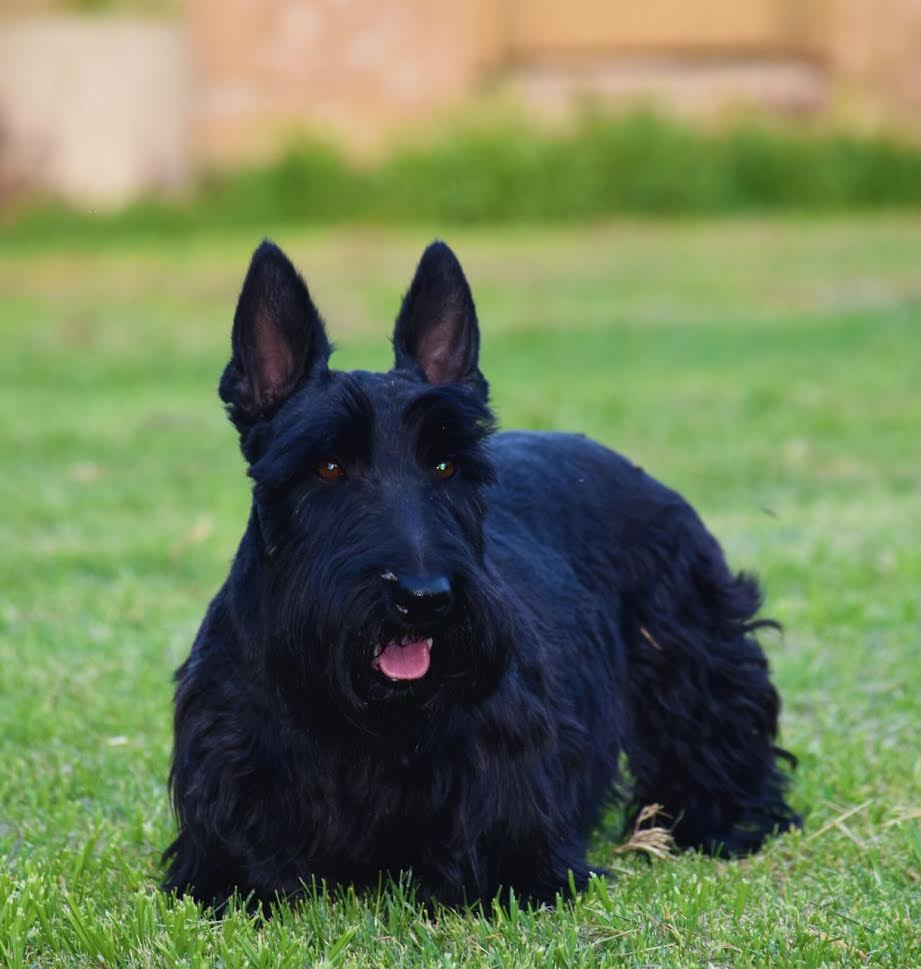 Scottish Terrier Adult Male