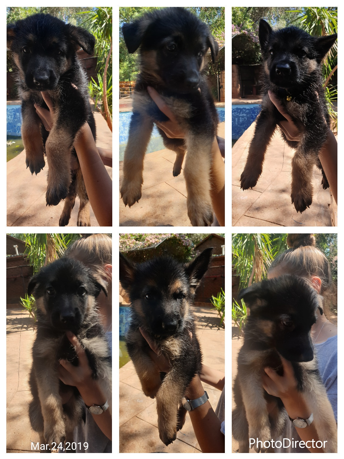 Pure breed German Shepard puppies available