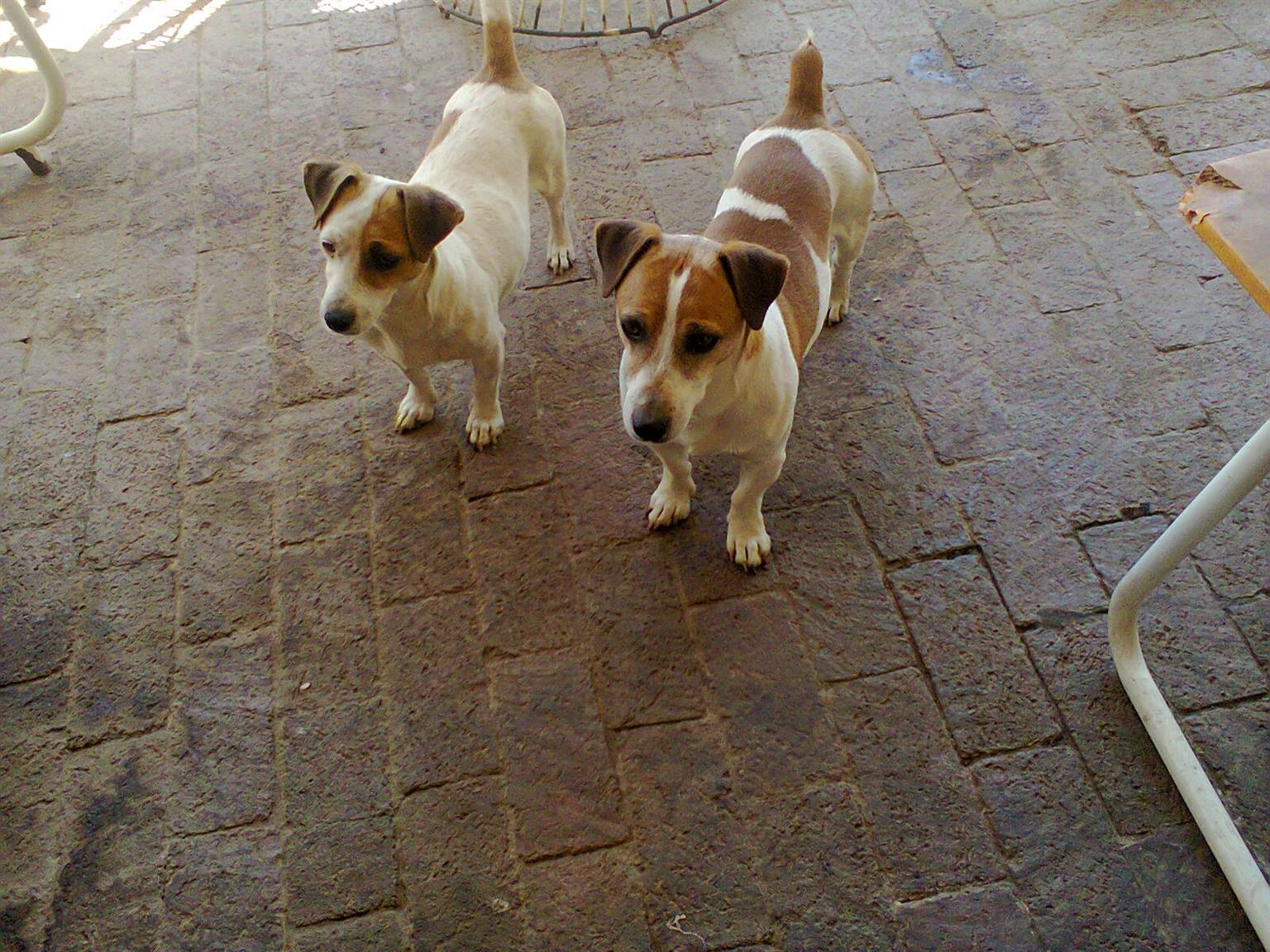 cucciolo Jack Russells 8 week short leg white and brown, For sale. From R999