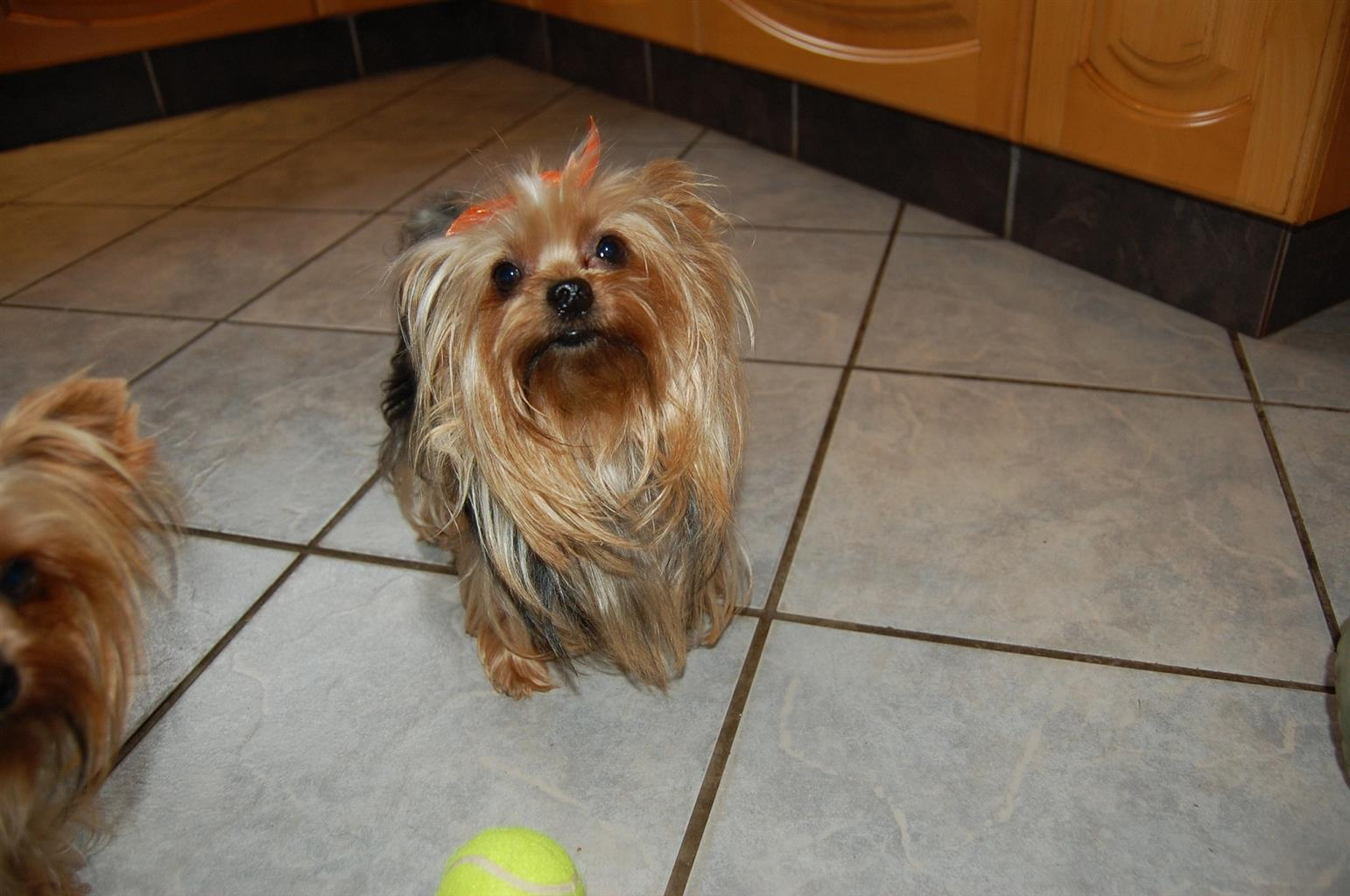 Yorkshire Terrier pups Ray's of sunshine