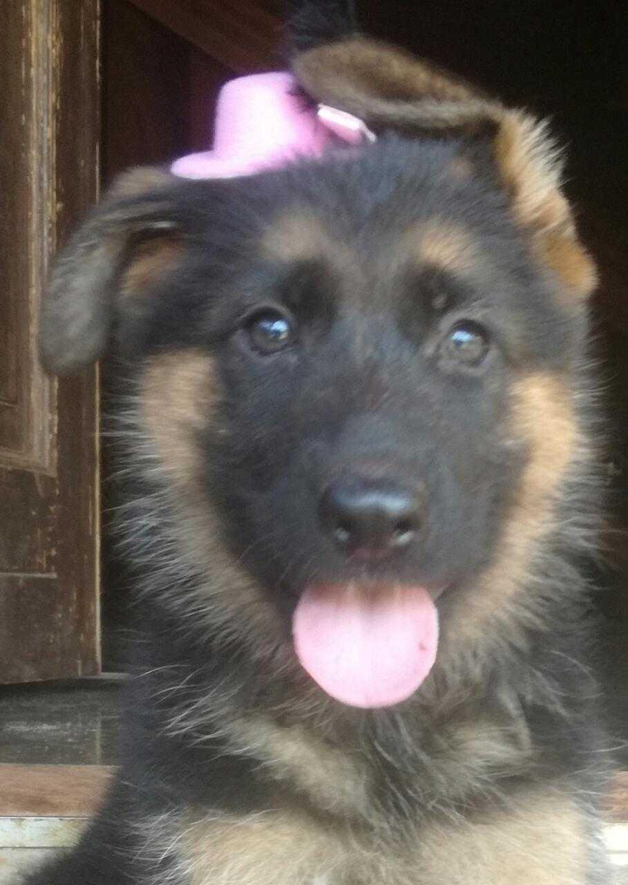 German Shepherd Registered Puppies for sale.