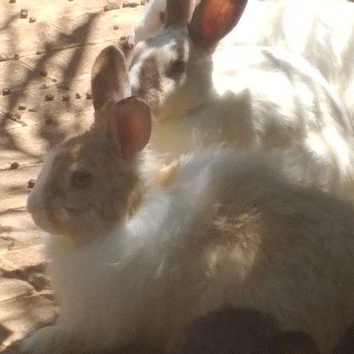 Angora baby rabbits. Mutil colured