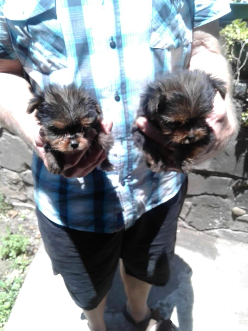 Teacup Yorkshire terrier  puppies.