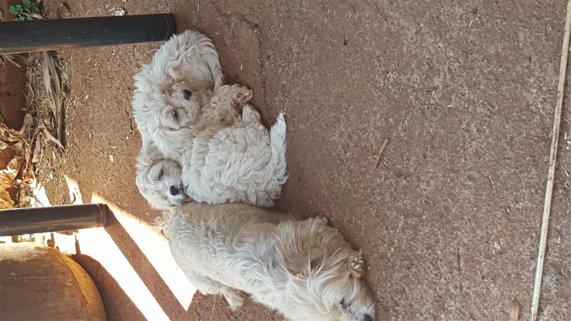 Maltese male puppy's