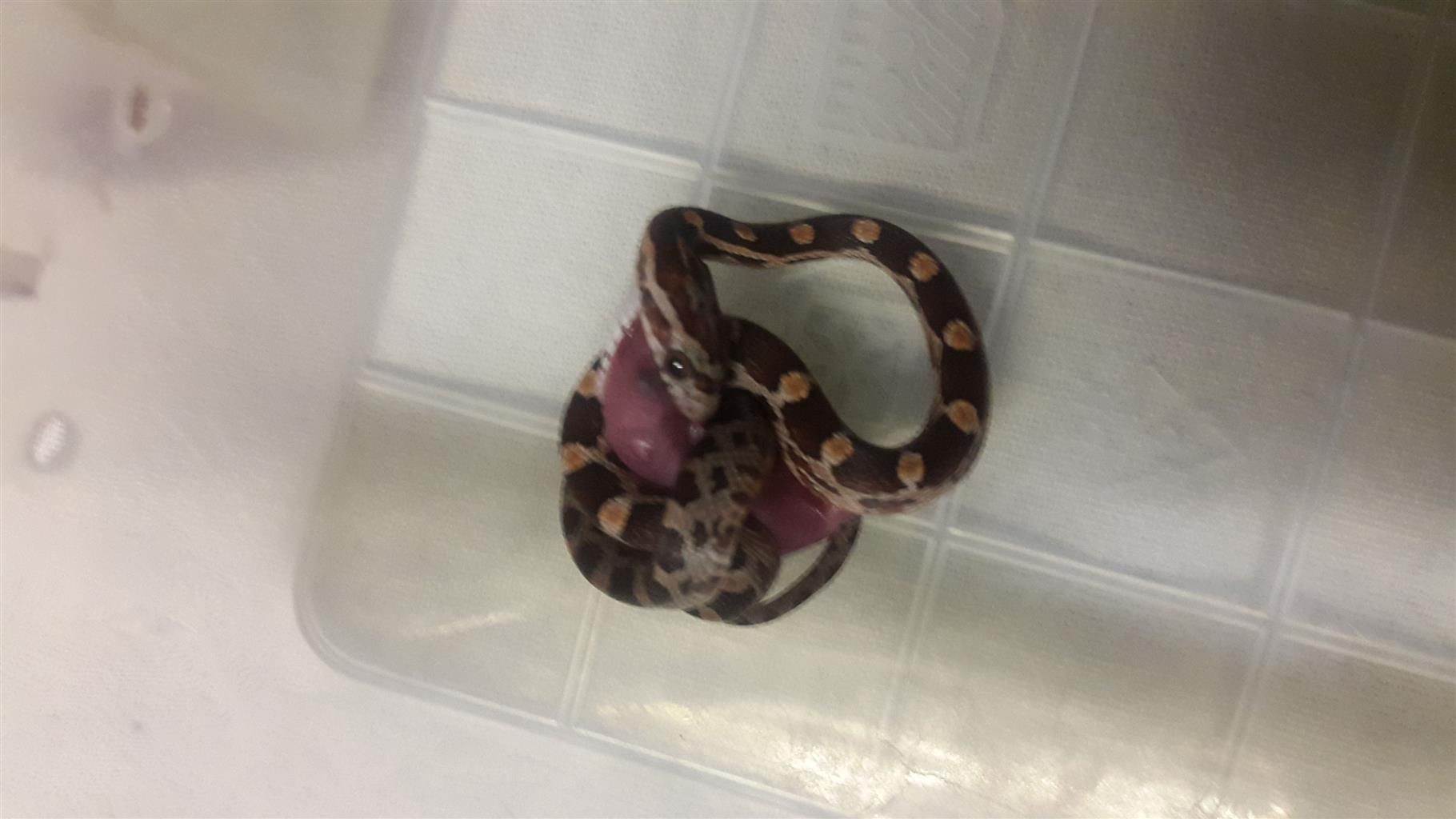 Various Corn Snake Hatchlings and Ball Python For Sale