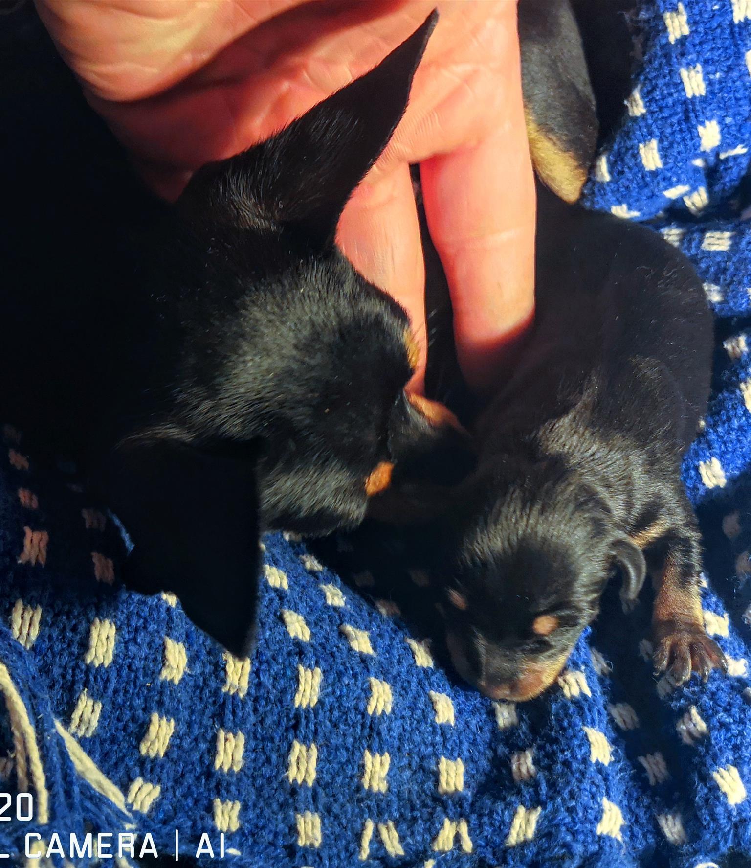 Teacup/Pocket size Miniature Doberman Pinscher Bokkie Puppies