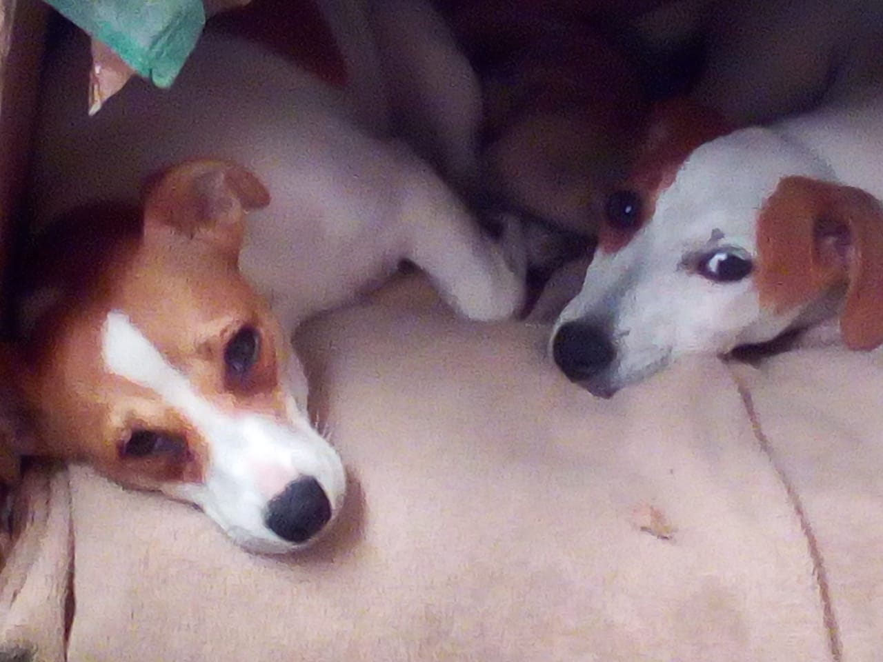Tan and white Jack russell puppies