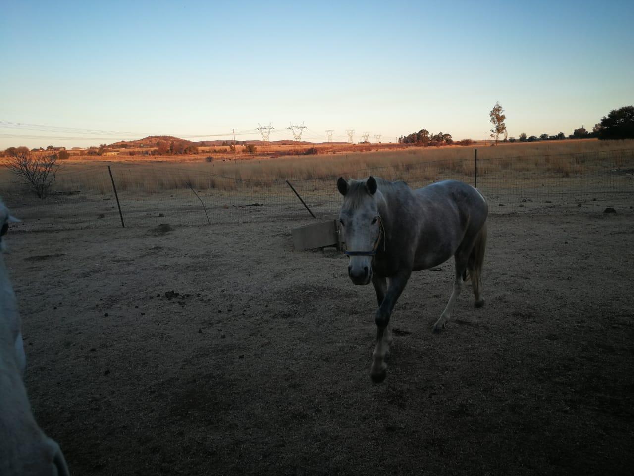 Boerperd gelding and mare