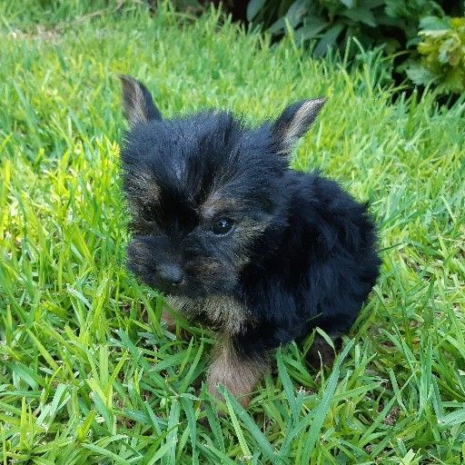 Yorkshire Terrier puppies from registered parents