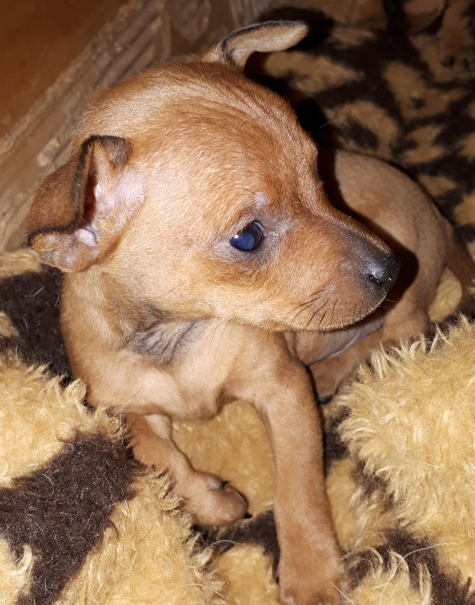 Min Pincher Puppies for sale