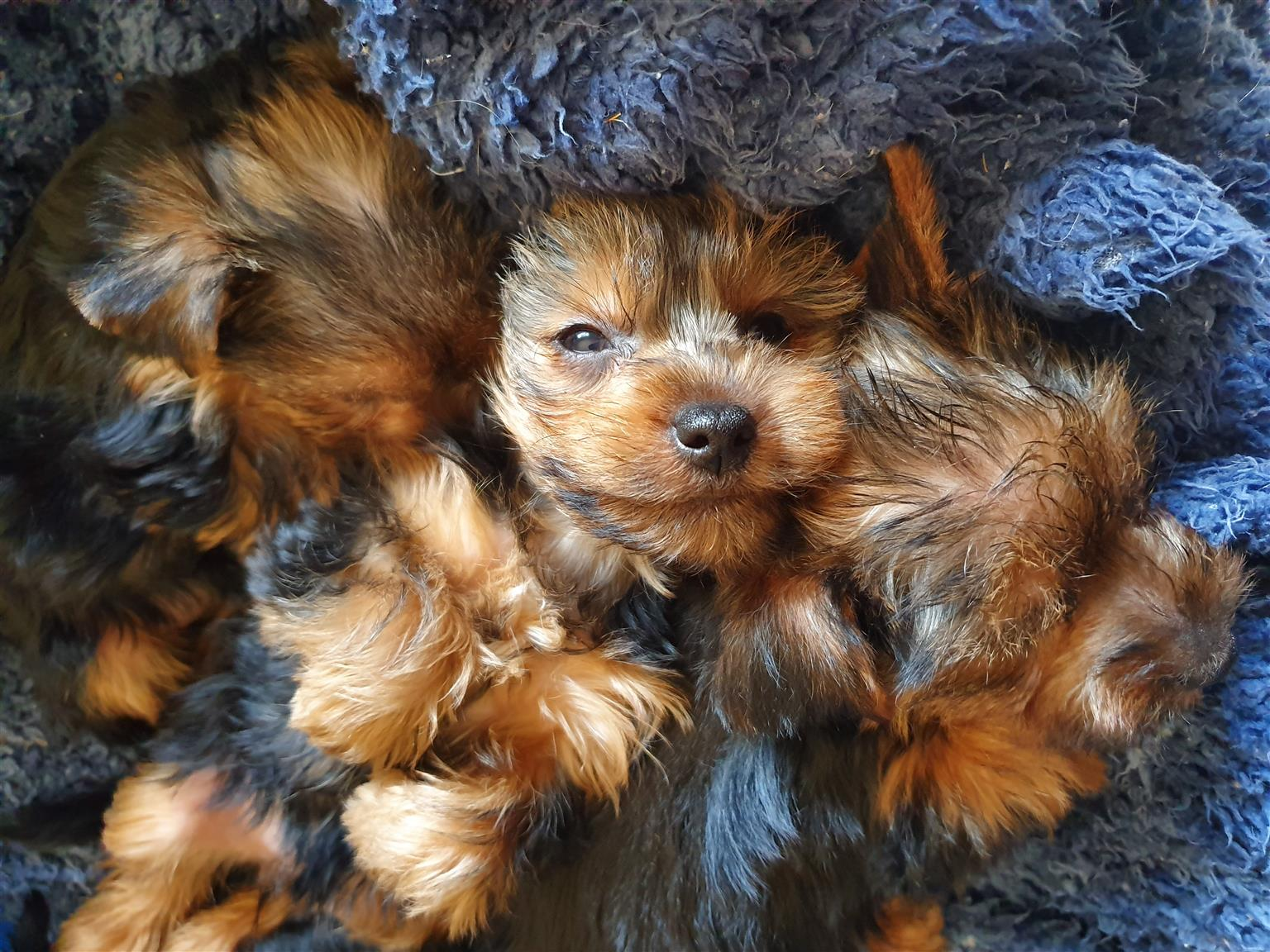 Female Yorkies