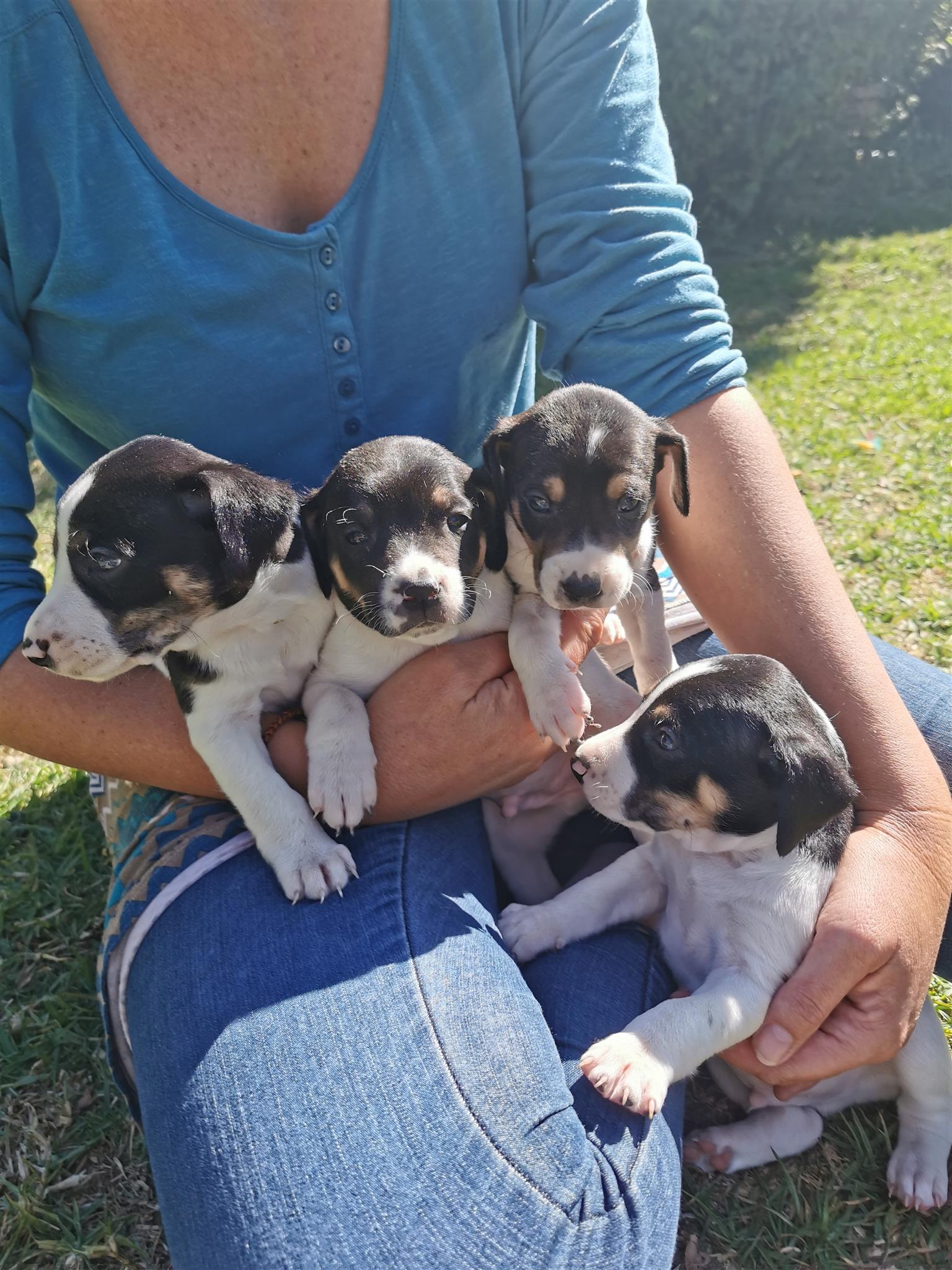 Puppies foxterriers