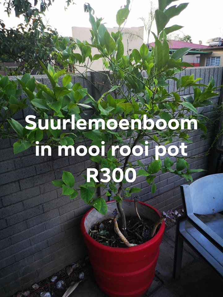 Boom In Pot.Suurlemoen Boom In Rooi Pot