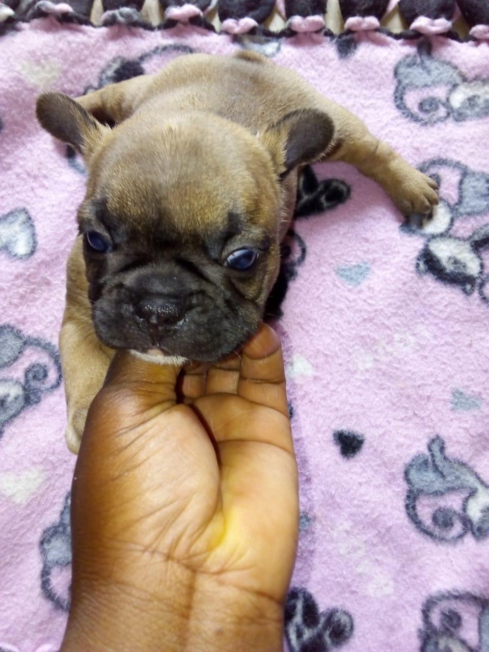 Gorgeous KUSA Reg French Bulldog puppies available