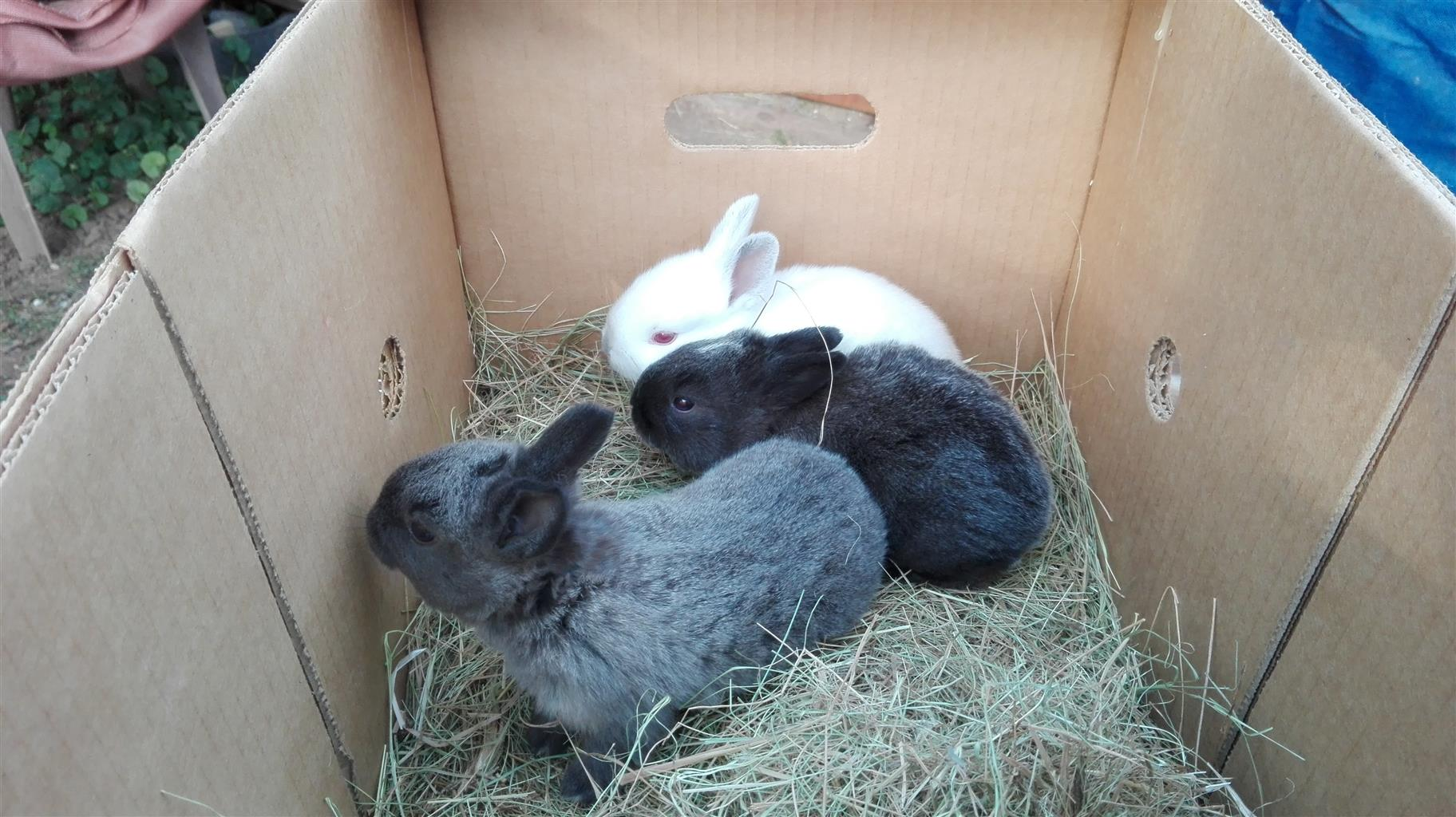 Large breed rabbits