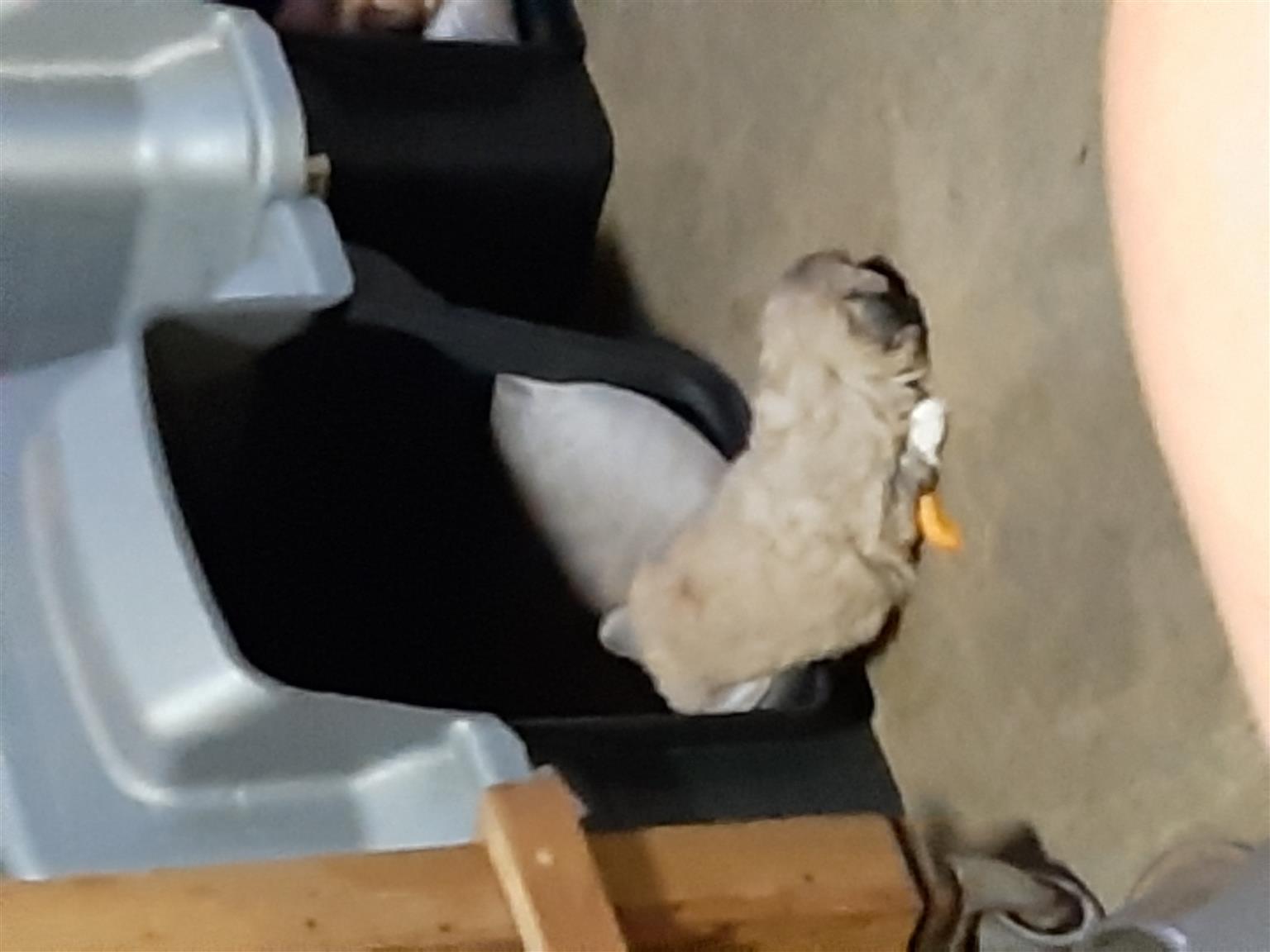 Pekengese Puppies