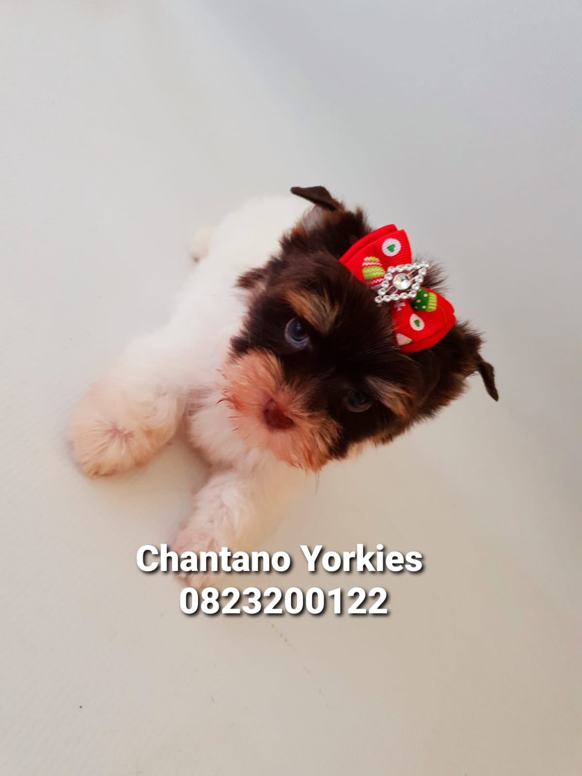 Biro Yorkshire Terrier Boy
