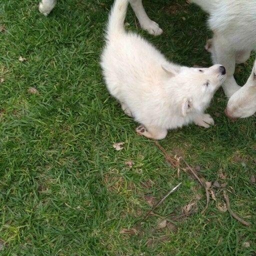 German Shepherd white puppies