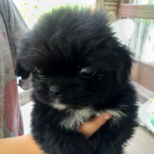 pure breed Pekingese puppies