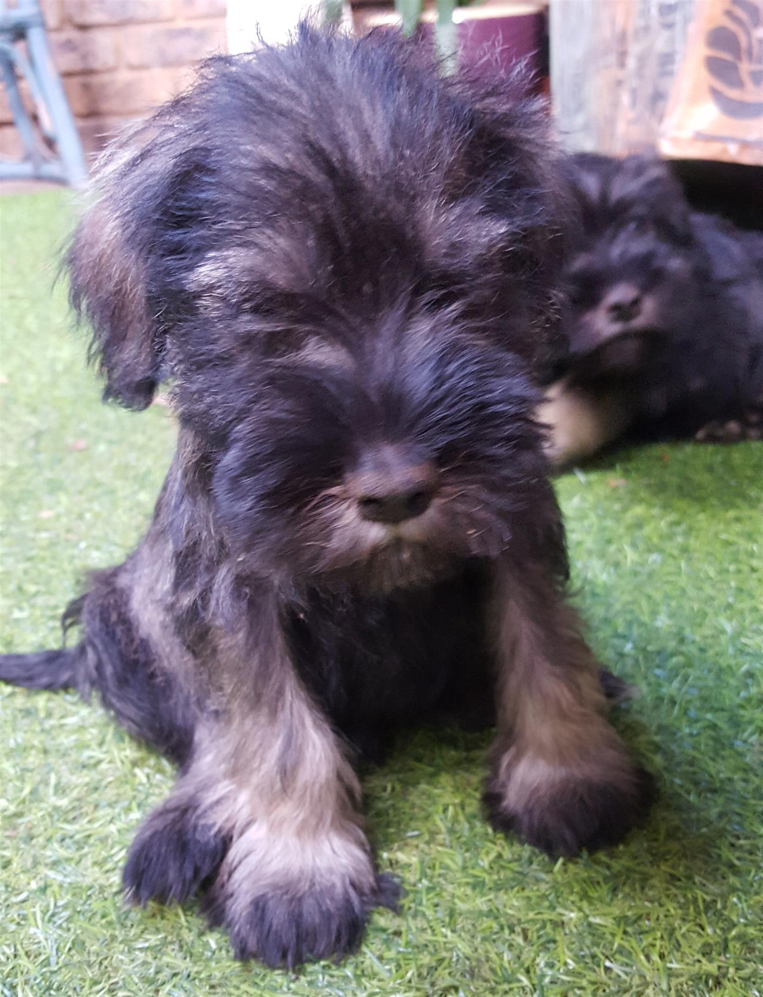 Adorable Miniature Schnauzer Puppies For Sale