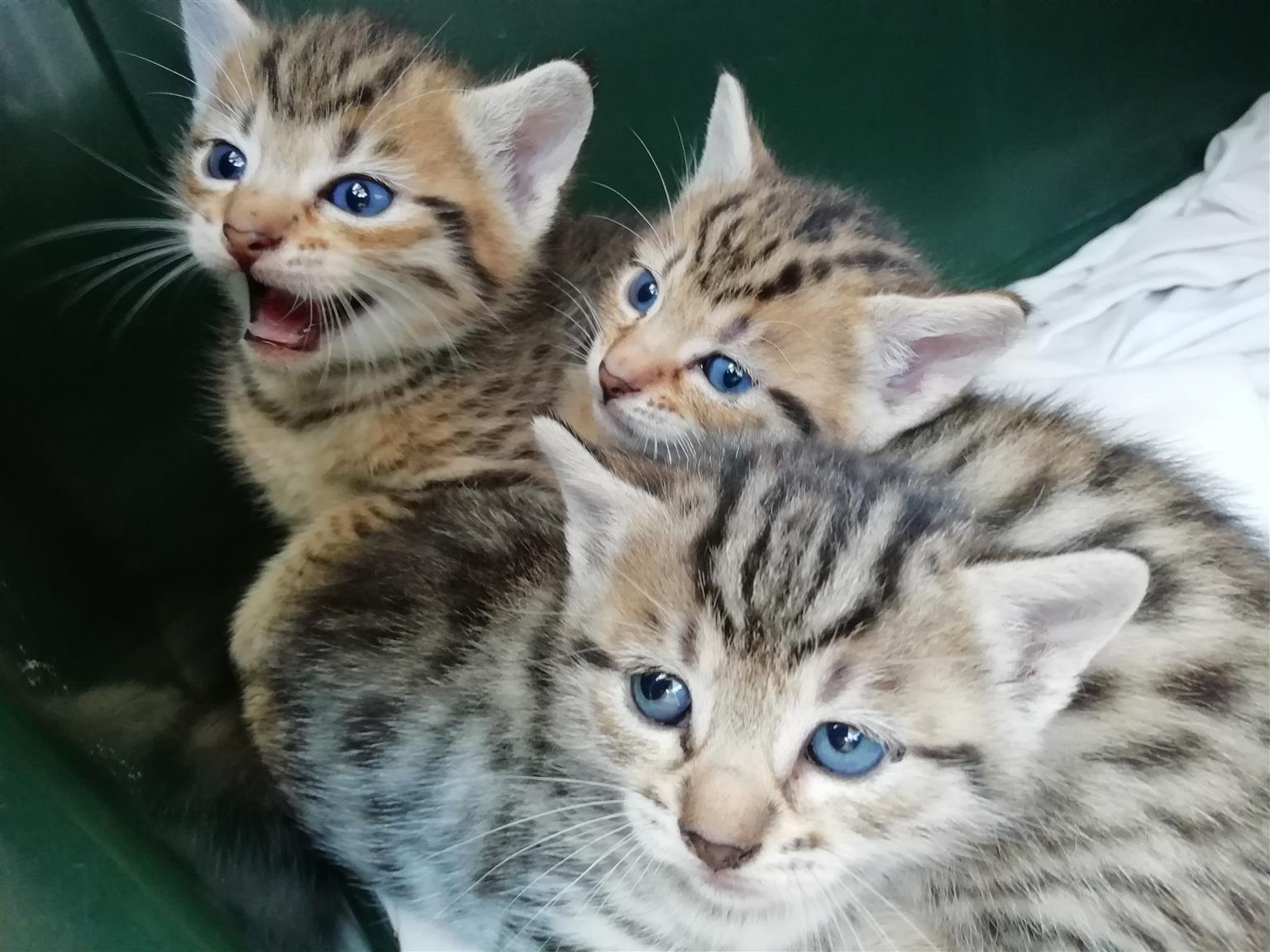 Blue Eyed Kittens for Sale