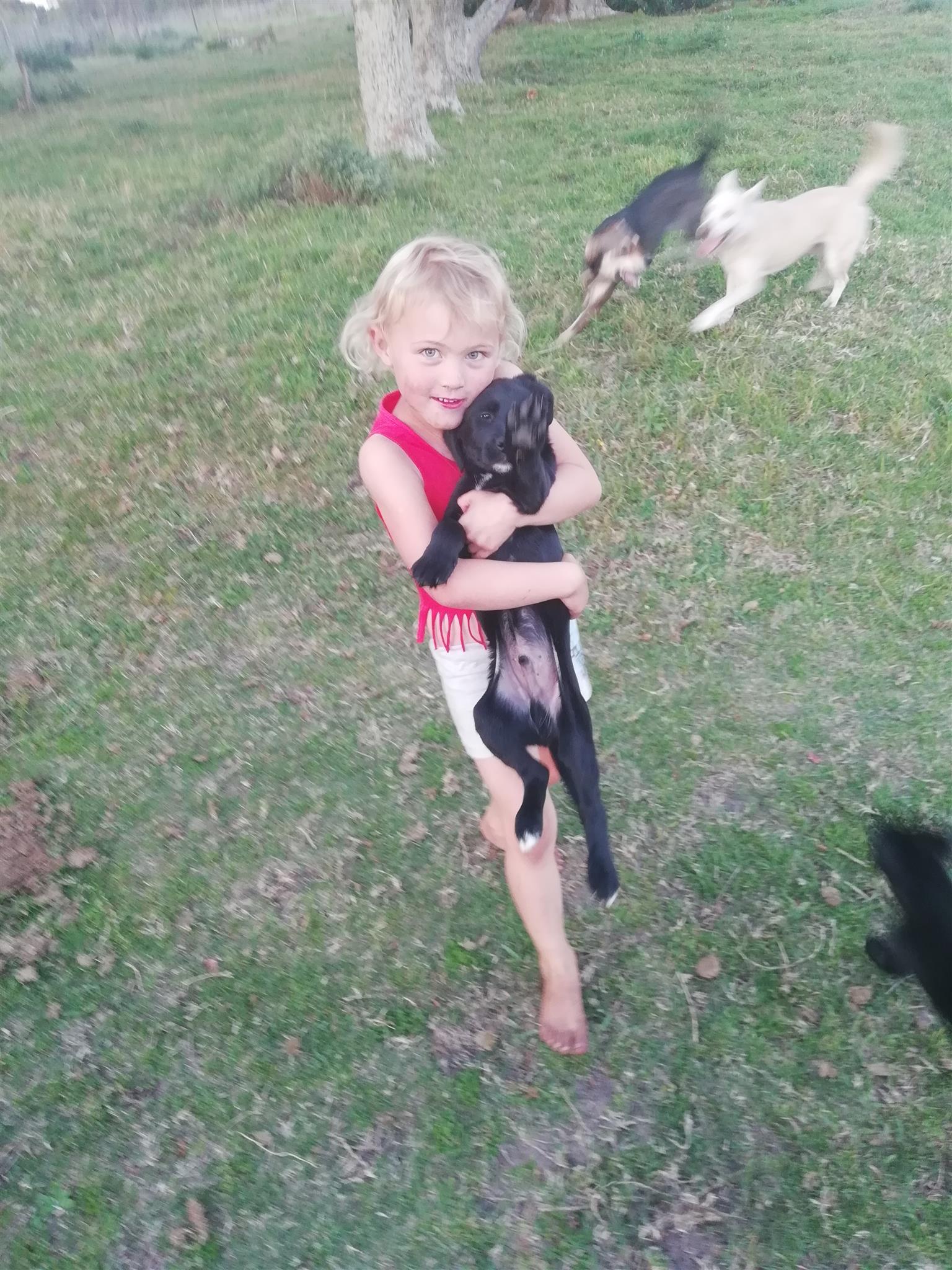 Labrador x Collie Puppies