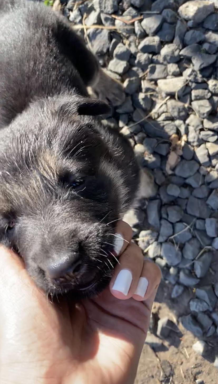 Pure Thoroughbred German Shepherd Puppies
