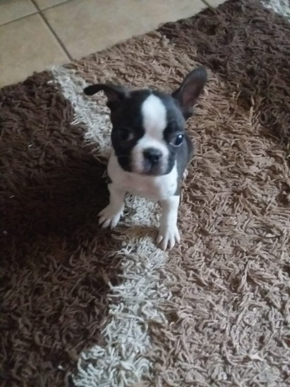 Boston puppy for sale